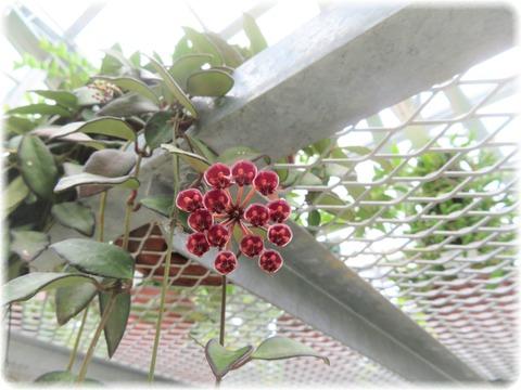 Hoya x rosita
