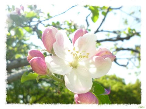 リンゴ・ケントの花