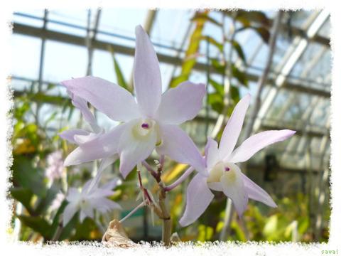 Dendrobium CV.Aoyama