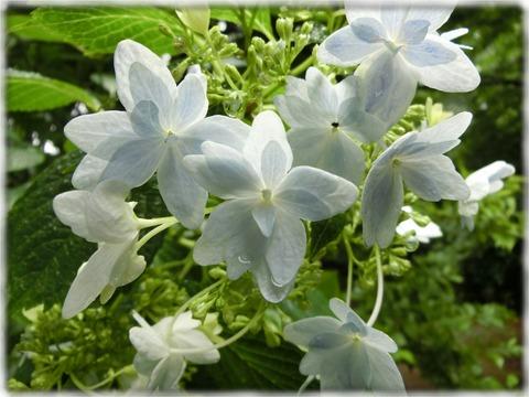 紫陽花(八重)