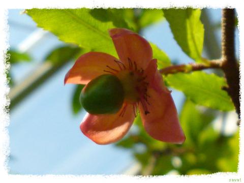 Saurauia pendula Blume