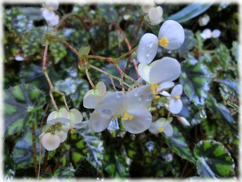 Begonia insularis