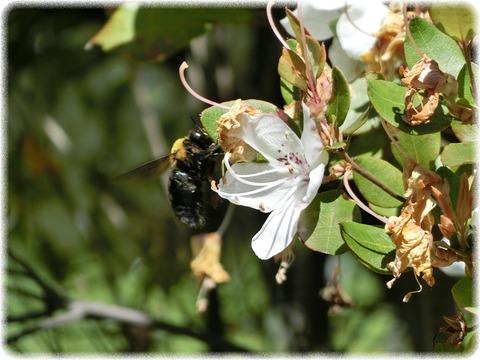 Rhododendron ovatum Planch