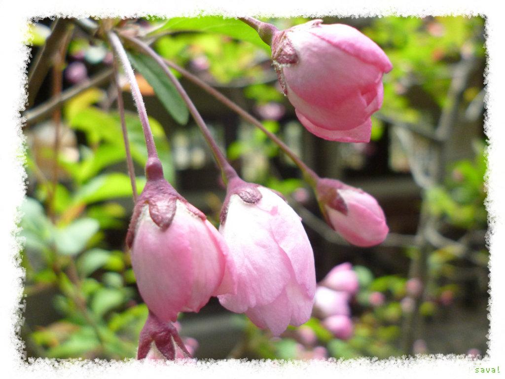 カイドウ,かいどう(海棠)の花言葉-花言葉事典