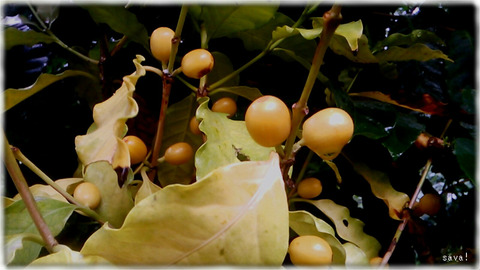 コーヒーの黄色い実