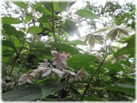 山紫陽花七段花