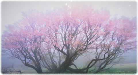 「妖艶千竜桜」