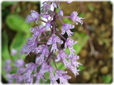 Sngl Longifolia