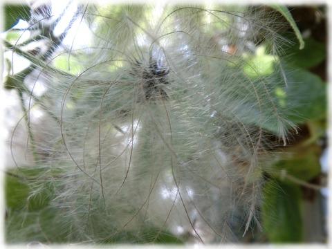 ビロードボタンヅル (3)