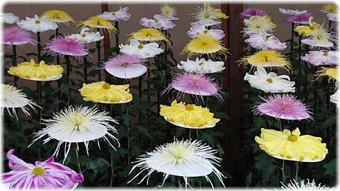 一文字菊、管物菊花壇
