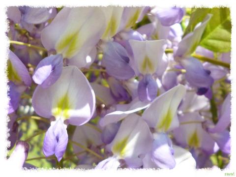 フジ (植物)の画像 p1_29