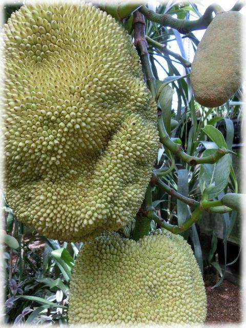 Artocarpus heterophyllus