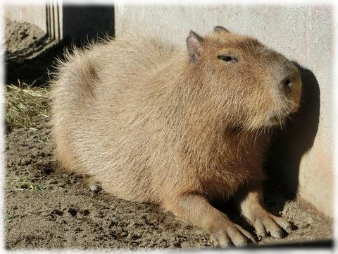 天竺鼠の画像 p1_19