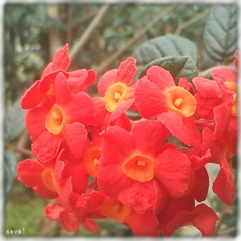 ベニマツリ(紅茉莉)