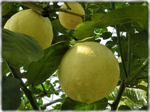 レモン'ポンデローザ'