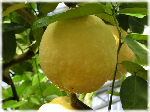 レモン'ポンデローザ