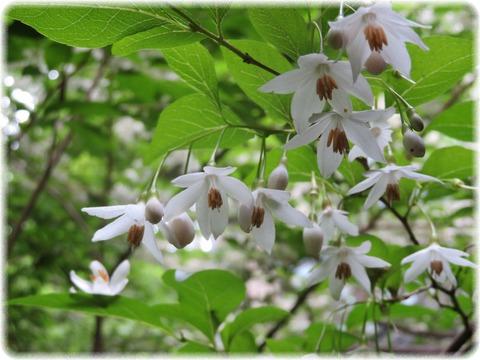 上見ずの桜 エゴノキ
