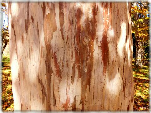 シマサルスベリの樹皮