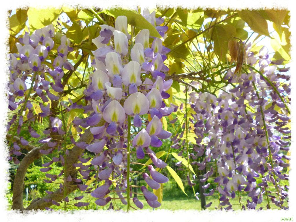フジ (植物)の画像 p1_31