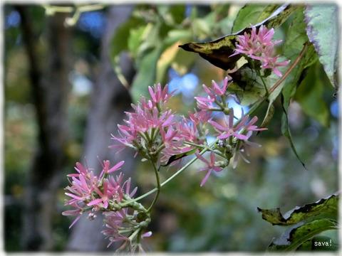 Heptacodium Jasminoides Airy-Shaw