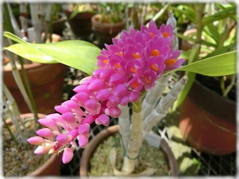 Dendrobium capillipes Rchb.f.