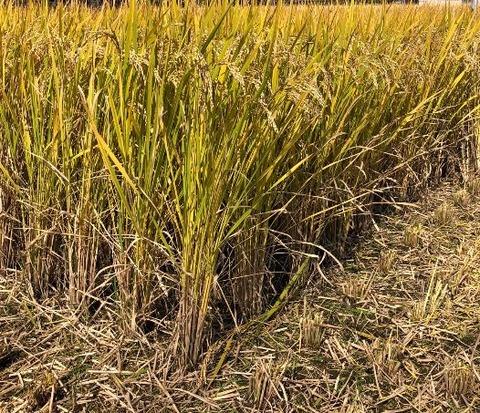 稲刈り 2