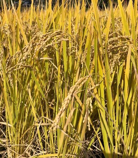 稲刈り 3