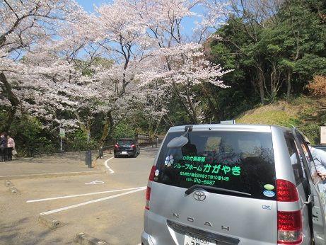 アロママッサージ桜見物レク 132