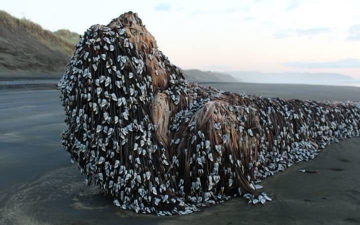15078728-Muriwai-Beach-large_trans