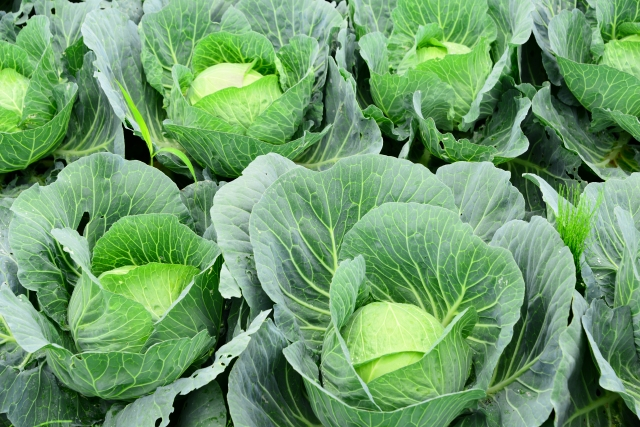 cabbagediet