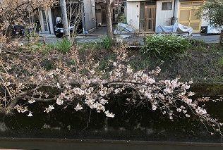 疎水桜3月23日