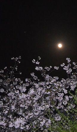 月に桜10