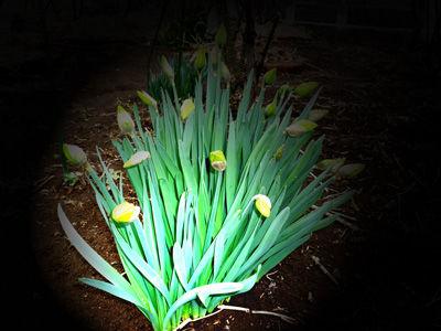 水仙の花花