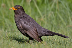 800px-Common_Blackbird
