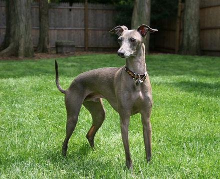 440px-Italian_Greyhound_standing_gray