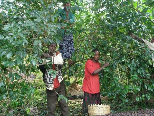 エチオピアのコーヒー豆、気候変動で収穫量半減の恐れ 研究