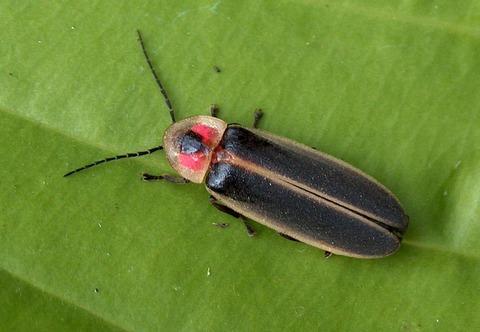 Eastern Firefly (Photinus pyralis) 3