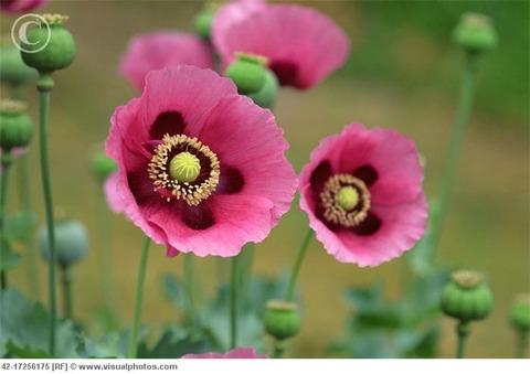 opium_poppy