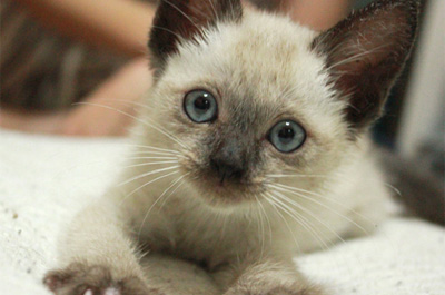 シャム猫の子供