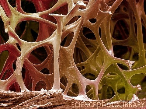 F0027297-Bird_bone_tissue,_SEM-SPL