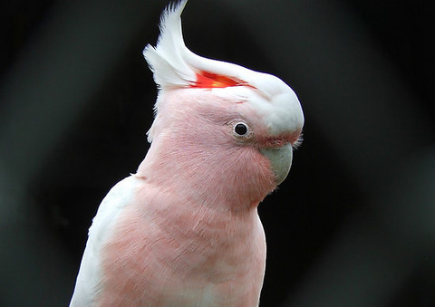 sir-thomas-mitchell-major-mitchell-cockatoo-nz