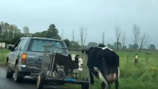 【ドナドナ】仔牛を必死で追いかける母牛が可哀想すぎる動画