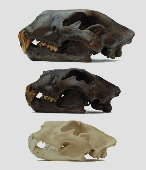 6339_american__cave__african_lion_big