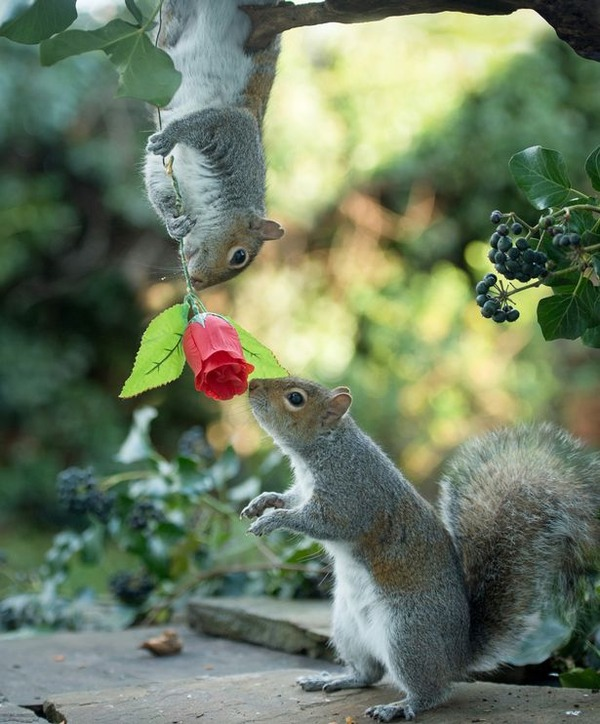 PAY-Squirrels-with-Valentines-Day-rose-3