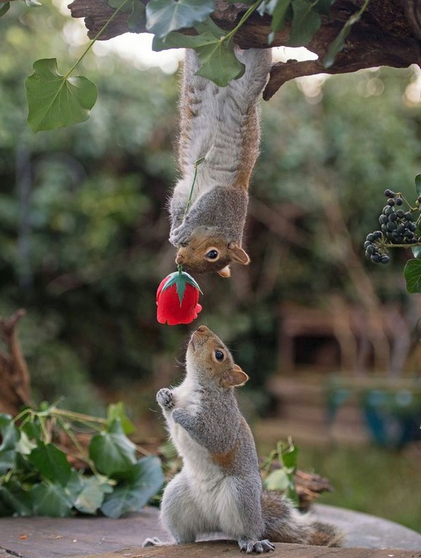 PAY-Squirrels-with-Valentines-Day-rose-2
