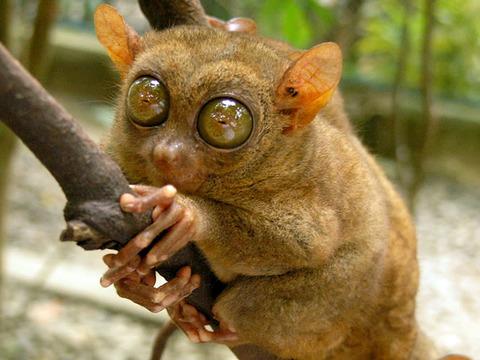 tarsier-primate-flickr-roberto-verzo