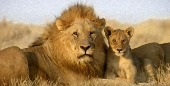 ライオンの画像 p1_33