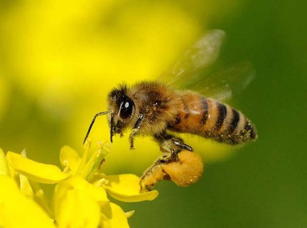 【悲報】ミツバチさん25万匹がとんでもない末路に…。