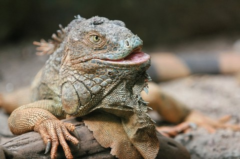iguana_petpedia_4