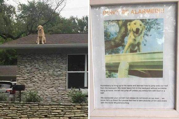 人間見下ろすのって気持ちいいわけやし。屋根の上に登るのが大好きなゴールデンレトリバーの引き起こした珍騒動